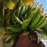 В Полоцке вырастили… бананы